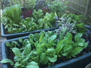 Earth Box Salad Gardens
